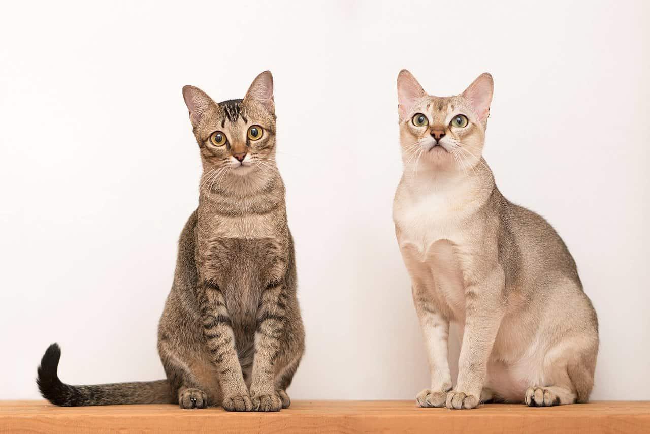 1280px Singapura Cats