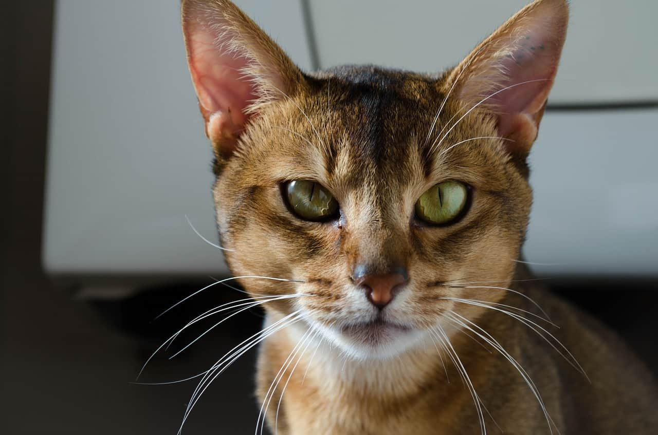 abyssinian cat 1705659 1280