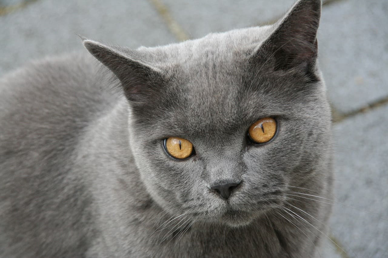 british shorthair 3354066 1280