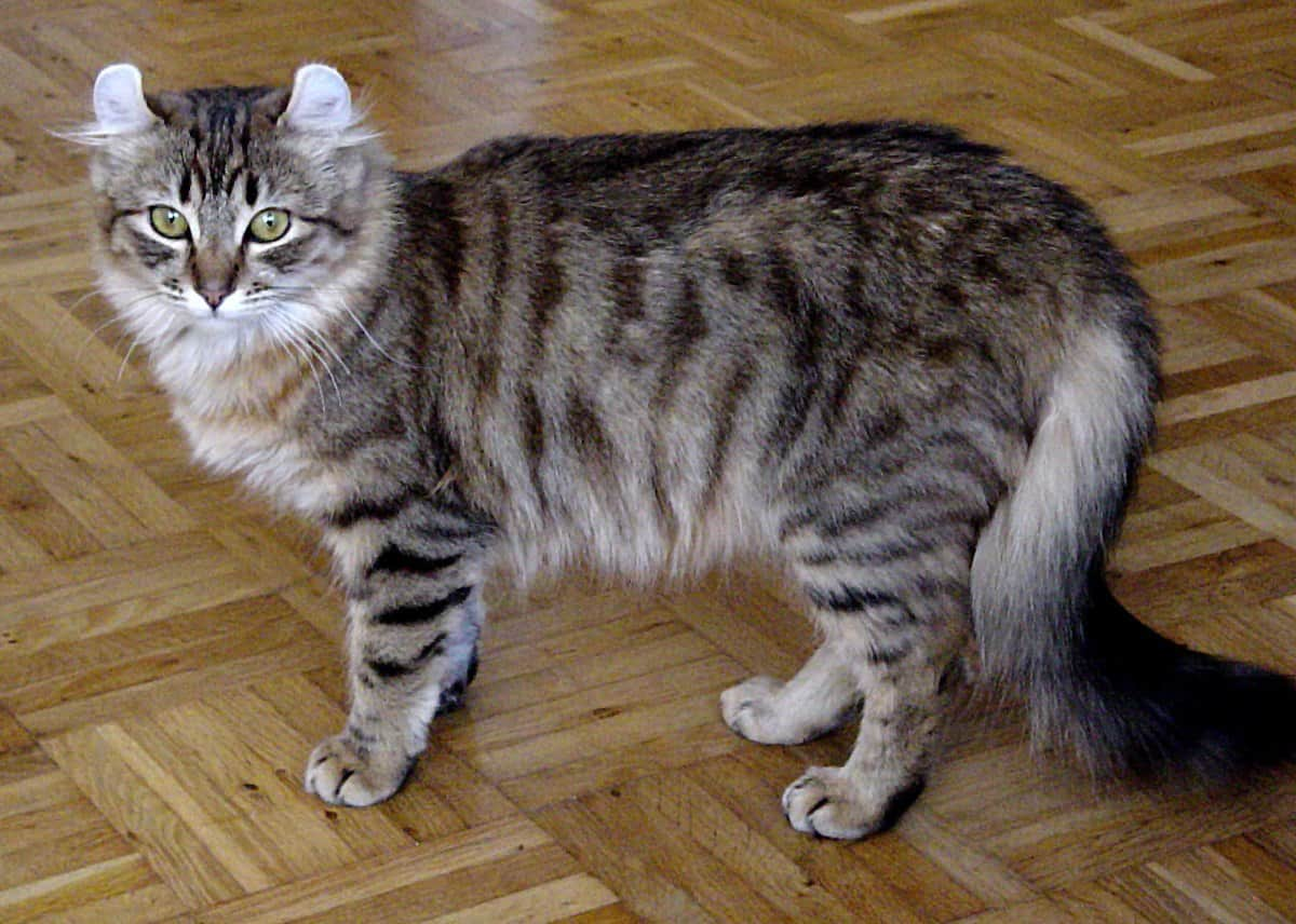 1200px American curl 2