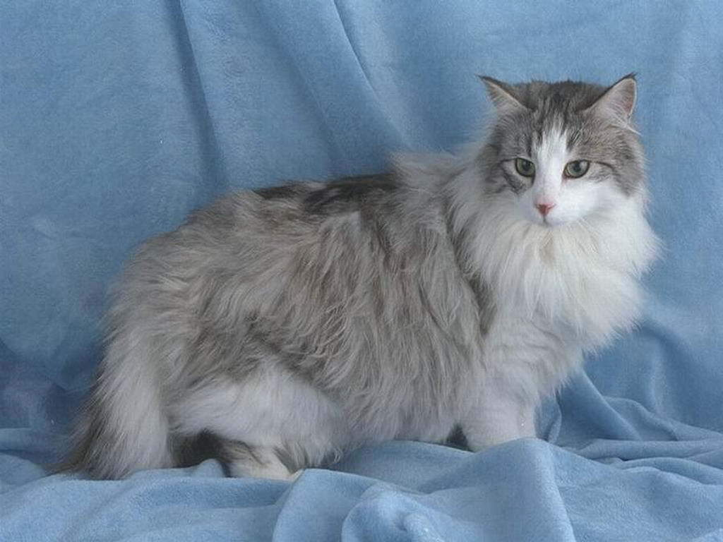 British Semi longhair cat