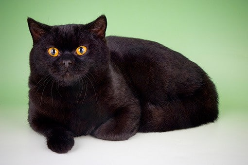 Exotic black cat