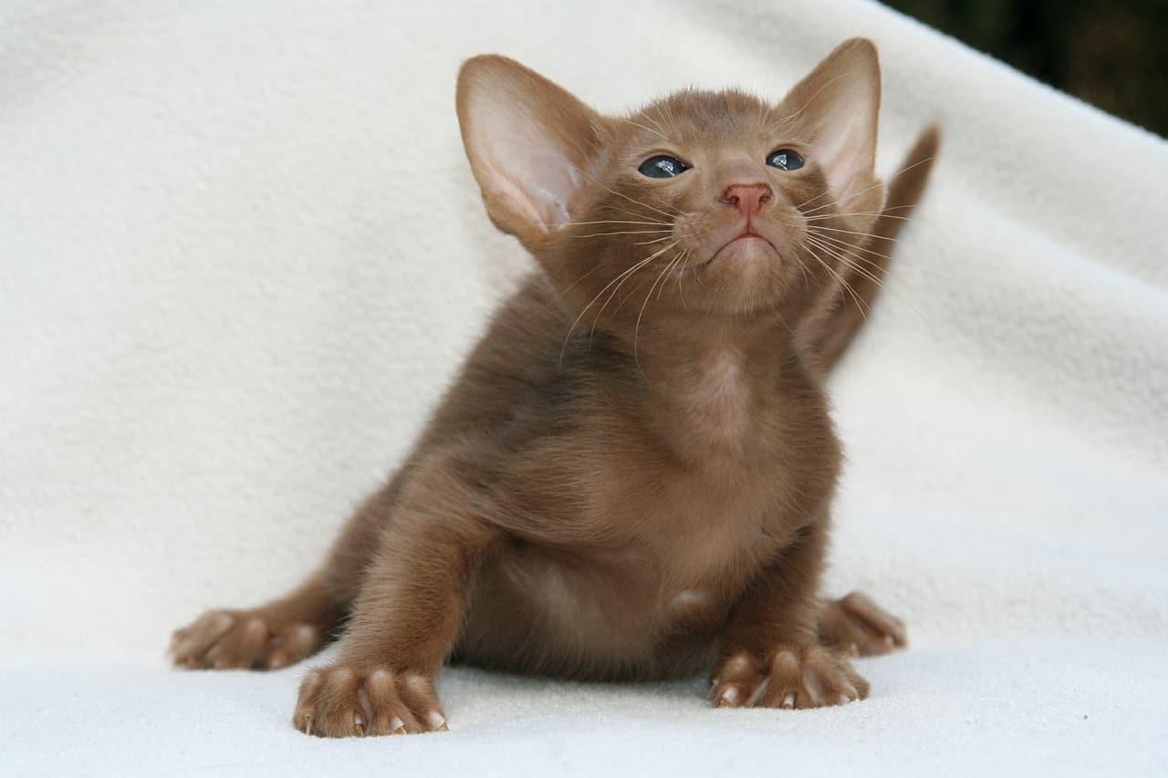 Oriental cat 1
