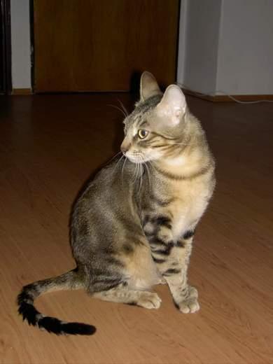 Sakoke cat