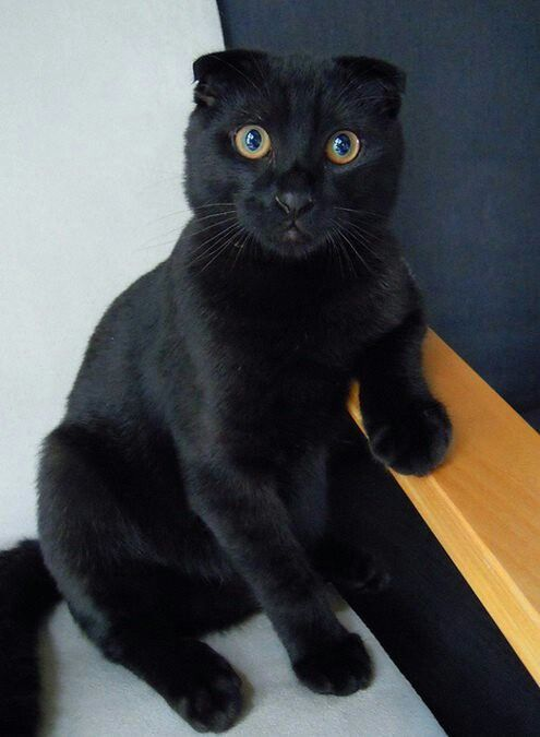 Scottish Fold black cat