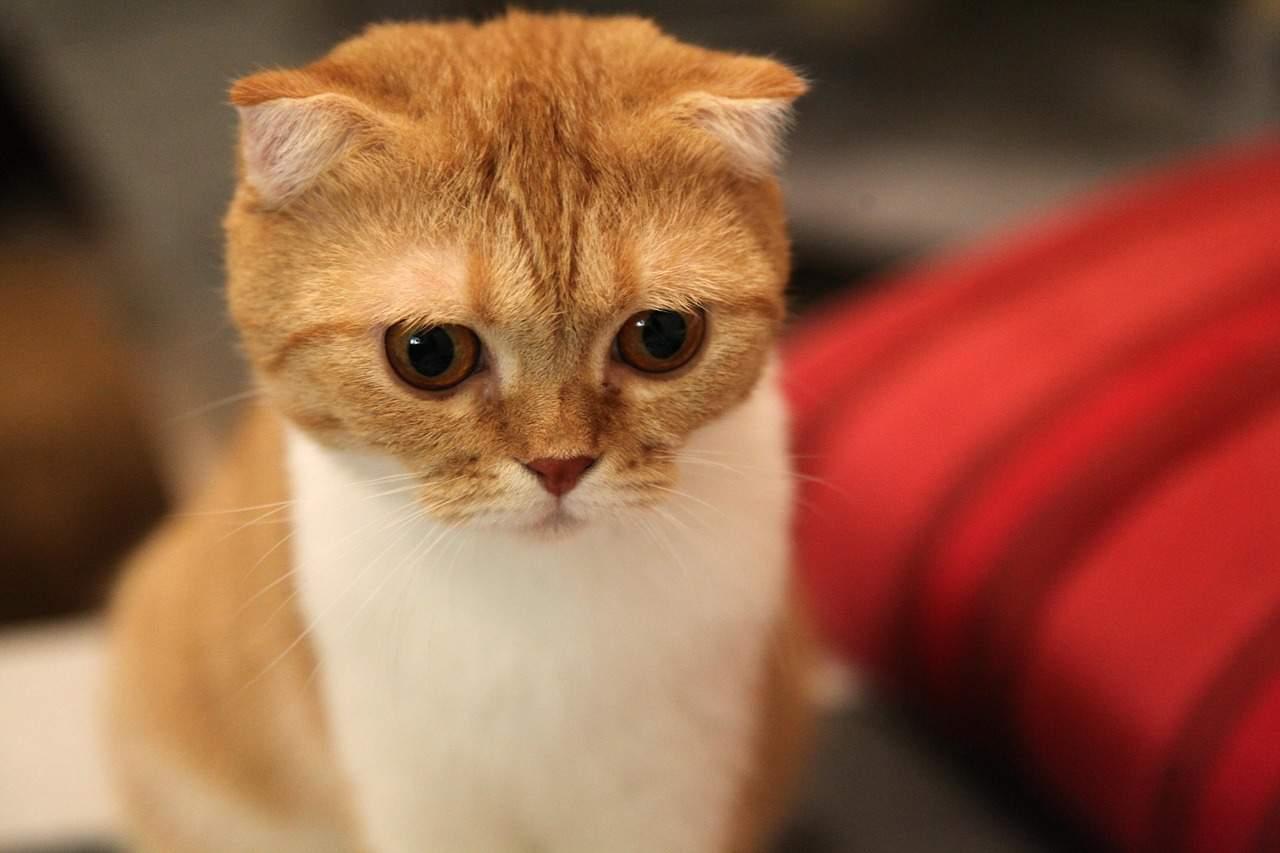 Scottish Fold cat