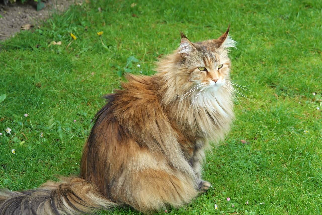 Siberian Forest Cat 1