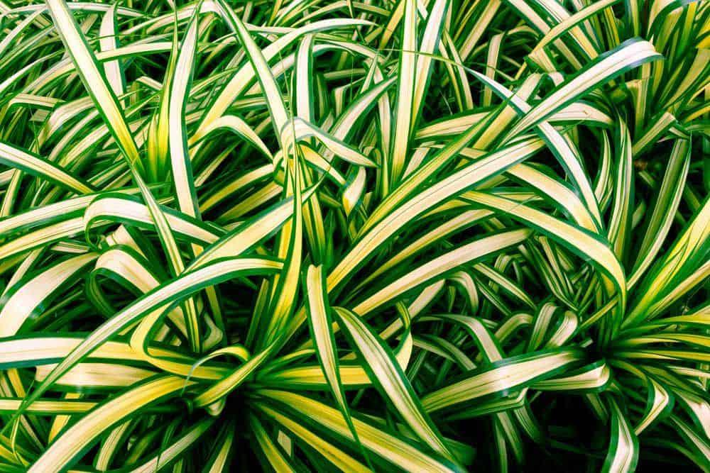 Spider Plant Leaves Close Up.jpg.1000x0 q80 crop smart