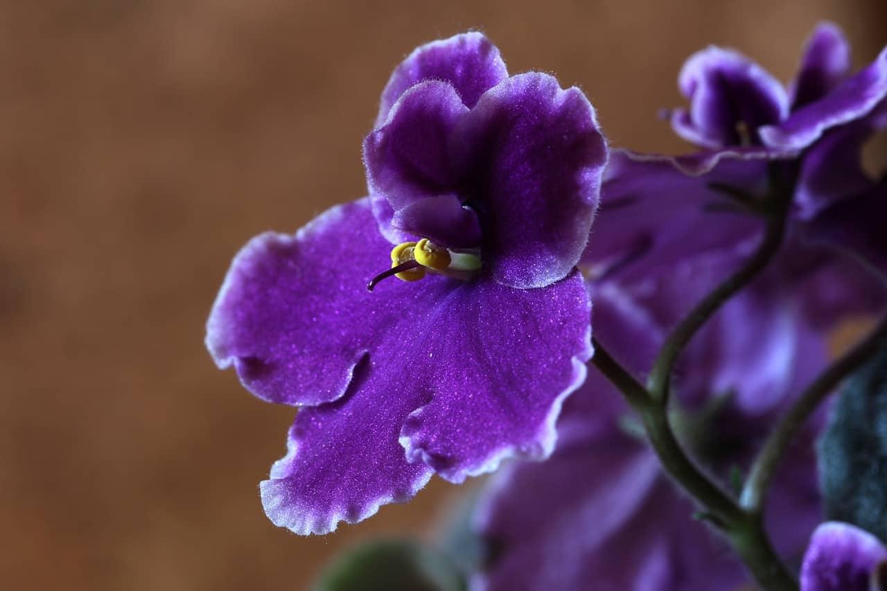 african violets 1819021 1280