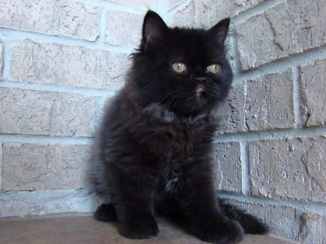 black ragamuffin cat