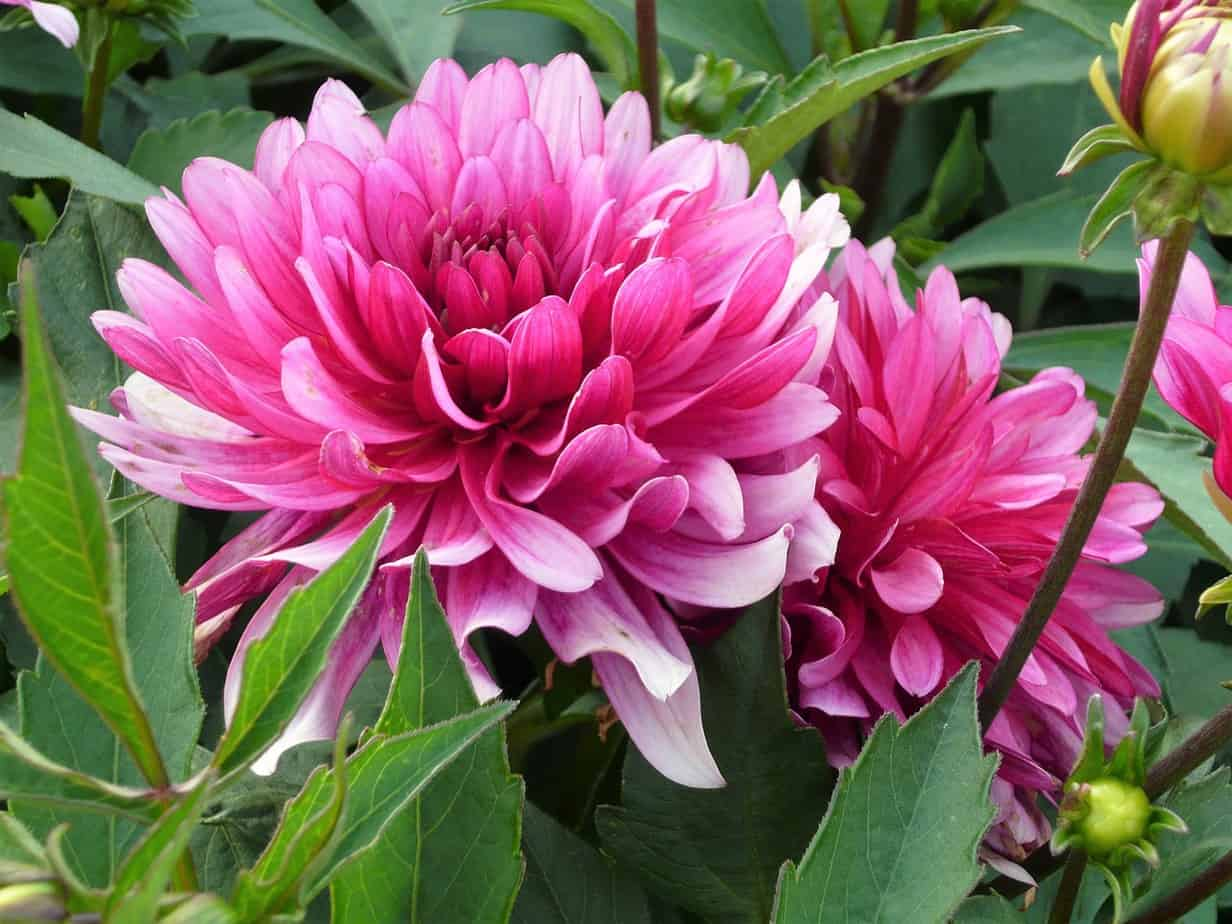 chrysanthemums 3347664 1280