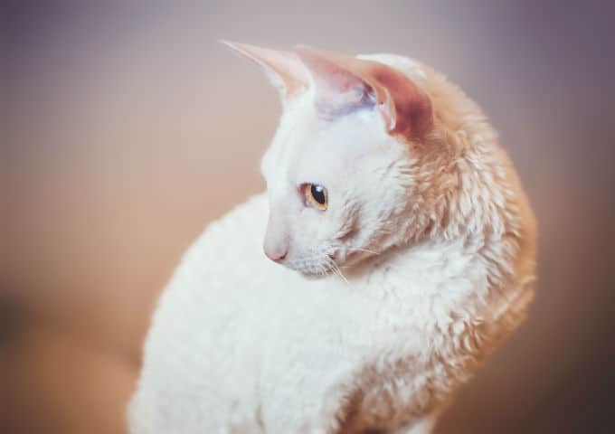 cornish rex cats and kittens 4