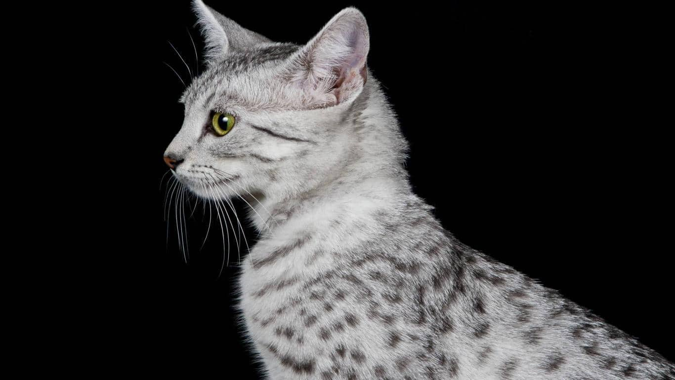 gorgeous egyptian mau