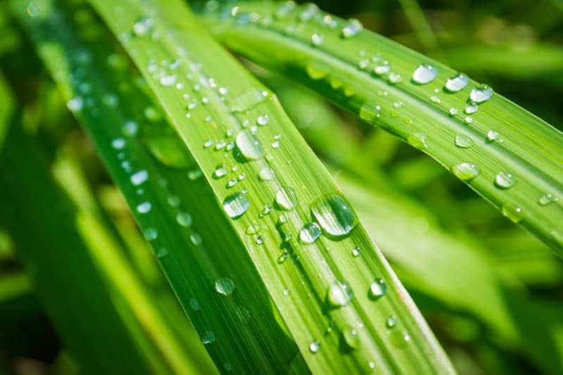 lemongrass essential oil health benefits