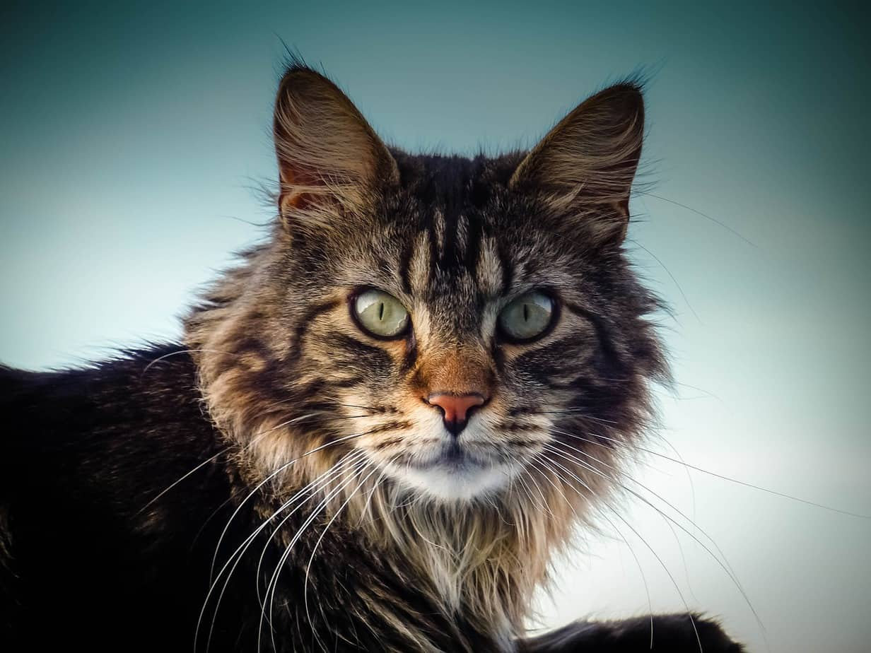 maine coon cat 2228866 1280