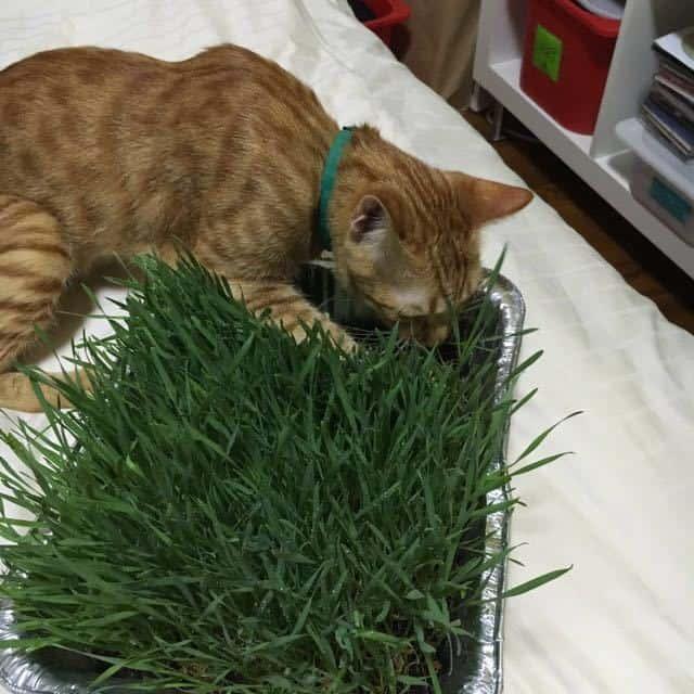 promo organic pet grass cat grass 1507178611 3f3c36a0