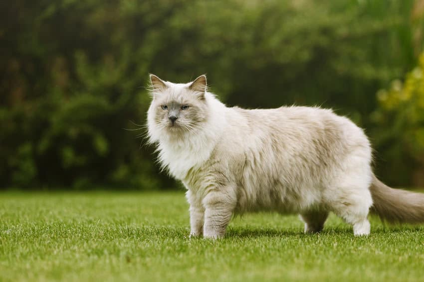 pure cat breed
