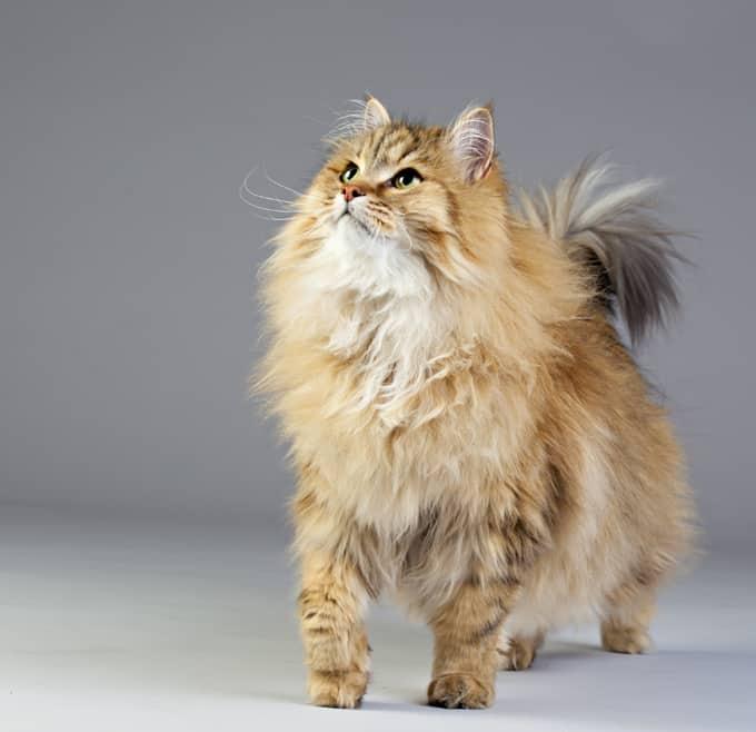 siberian cats kittens 1