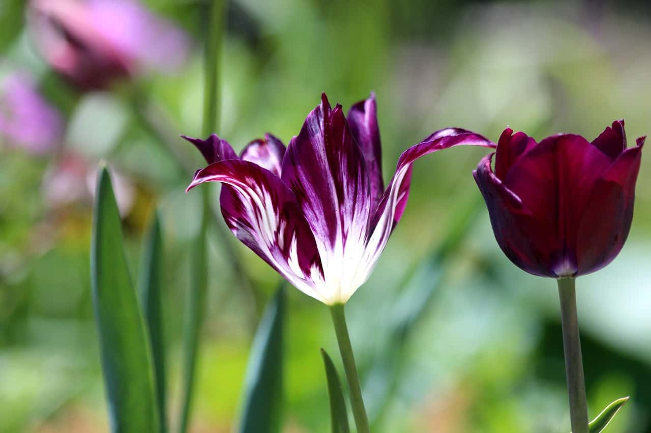 tulip 3419894 1280