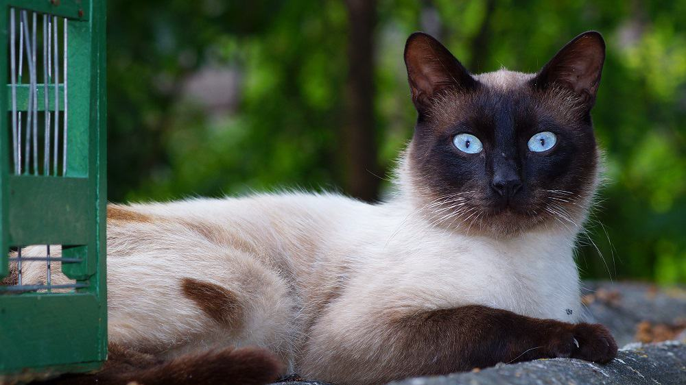 animal blue eyes cat 248254