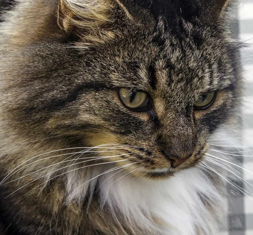 norwegian forest cat 1661520 1280