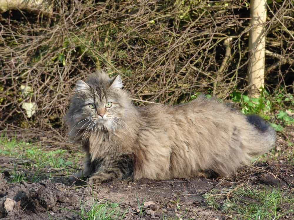 norwegian forest cat 2751709 1280