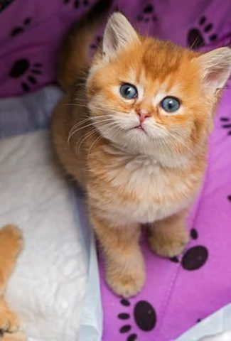 cute brown little kitten
