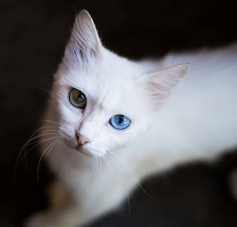 Albino Cats The Ultimate Guide to their history types characteristics temperament and care