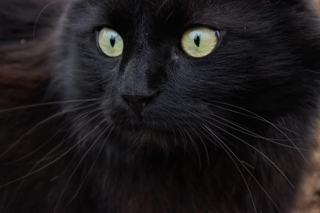 Chantilly cat