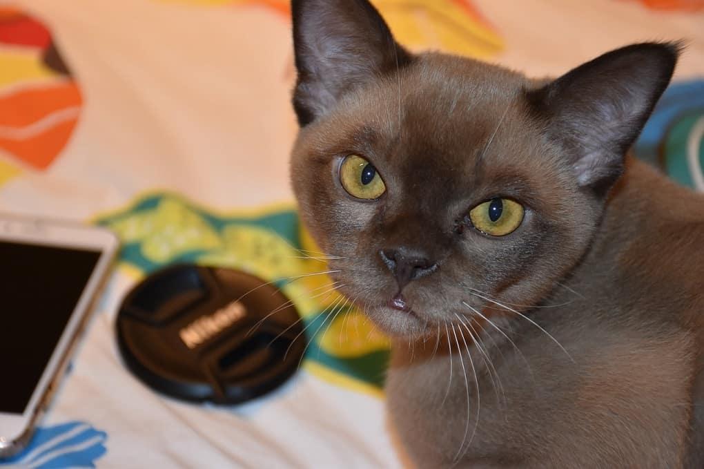 Burmese Malayan Cat