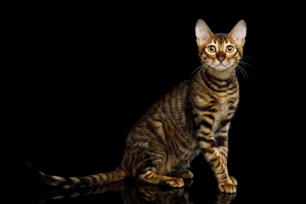 Toyger cat sitting