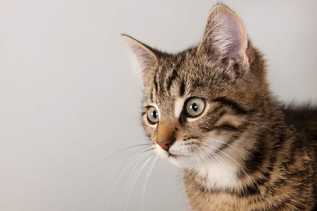 Cyprian Cat