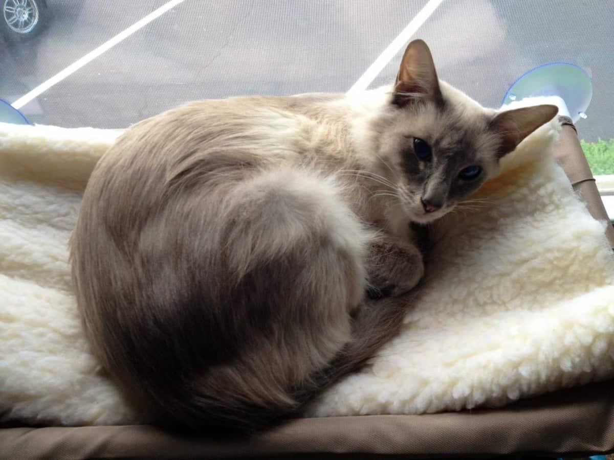 Javaense Cat  lying
