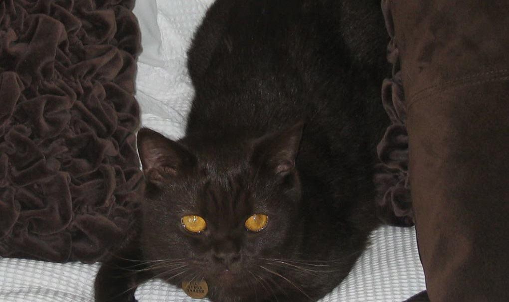 york chocolate cat