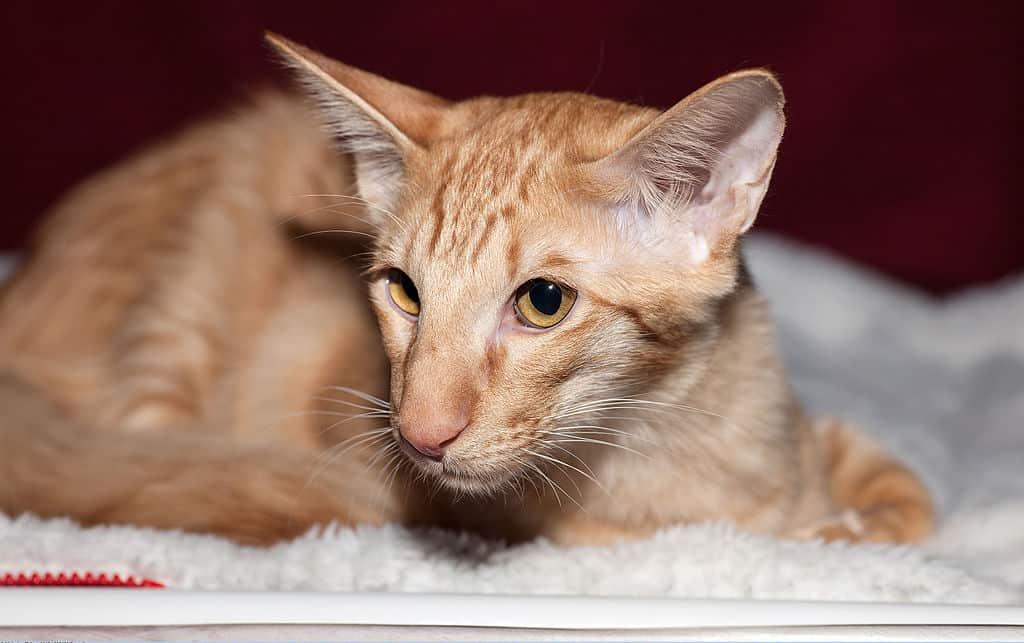 brown Javaense Cat